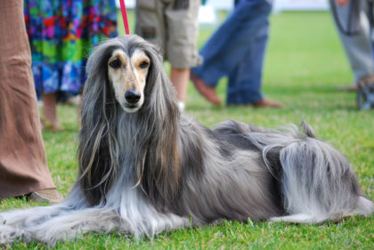 www-getbg-net_animals___dogs_afghan_hound_at_the_dog_show_049321_