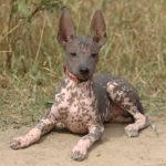 Ксолоитцкуинтли или мексиканская голая собака уход фото видео описание породы.