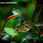 Буцефаландры (Bucephalandra) в аквариуме