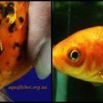 Лернеоз у аквариумных рыбок