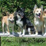 Исландская собака уход и содержание описание породы фото видео.