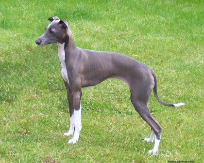 unusual-italian-greyhound