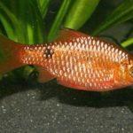 Барбус золотой барбус мшистый, барбус тикто ,барбус мутант — аквариумные рыбки.