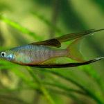 Ириатерина вернера,эритрозонус, апистограмма какаду,  апистограмма виджета- аквариумные рыбки.