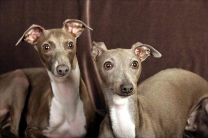italian-greyhound-06