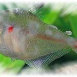 Хилодонеллез у рыб — симптомы,лечение,фото,видео.