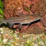 Мистус ,полиптерус сенегальский, клариас — аквариумные рыбки