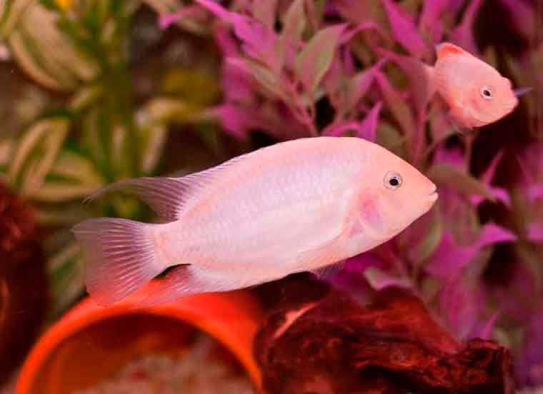 фламинго рыбка аквариумная
