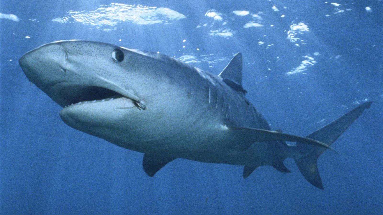 Акулий остров — видео про акул