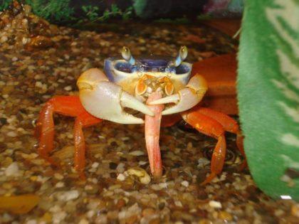 raduzhnii-crab10