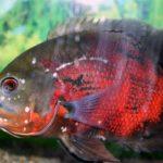 Гексамитоз лечение в общем аквариуме — описание фото