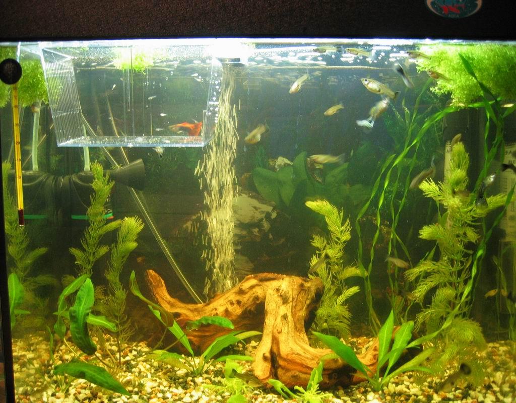 Мальки в общем аквариуме: описание,фото,видео