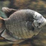 Гигантский гурами: содержание в аквариуме