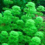 Лимнофила сидячецветковая — аквариумное растение