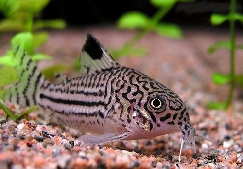 Коридорас Джули: содержание и уход в аквариуме