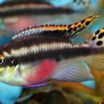 Пельвикахромис пульхер содержание в аквариуме
