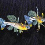 Псевдомугиль гертруды содержание в аквариуме