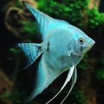 Скалярия голубая: описание,фото,уход