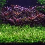 Эхинодорус нежный: описание,фото,размножение,уход,виды