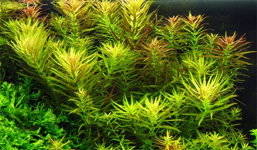 Лимнофила ароматика — аквариумное растение