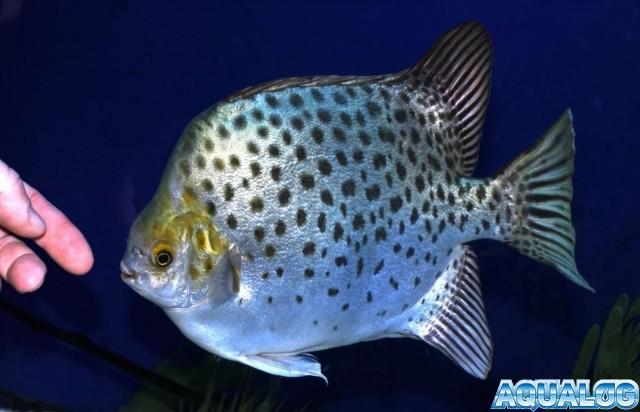 Аргус скатофагус в аквариуме — содержание описание уход