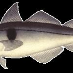 Пикша рыба описание размножение места обитания фото видео