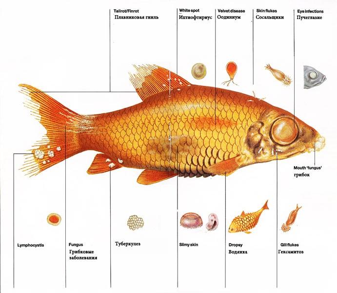 Чешутся рыбы в аквариуме,что делать — описание