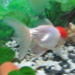 Болезни золотых рыбок: внешние признаки и лечение,фото,симптомы