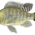 Тилапия рыба описание нерест ловля фото видео места обитания