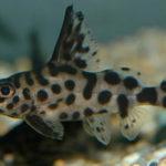 Синодонтис далматин содержание описание фото размножение