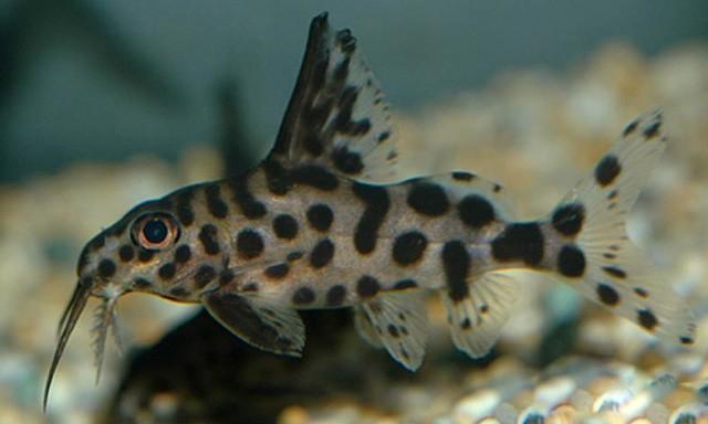 Синодонтис далматин: содержание,описание,фото,размножение