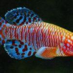 Натобранх Рахова содержание описание фото размножение