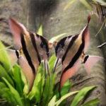 Скалярия альтум содержание описание фото размножение