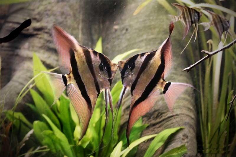 Скалярия альтум: содержание,описание,фото,размножение