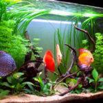 Дискусы в аквариуме — видео