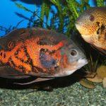 американские цихлиды: уход,описание,размножение,виды,совместимость