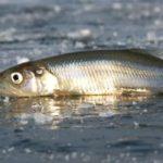 Корюшка рыба описание нерест фото видео места обитания ловля