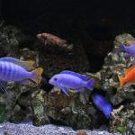 Малавийские цихлиды в аквариуме — видео описание фото уход разведение