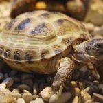 Домашняя черепаха: содержание,описание,размножение.