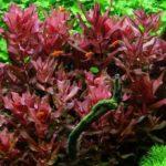 Ротала макрандра: содержание,описание,размножение,фото