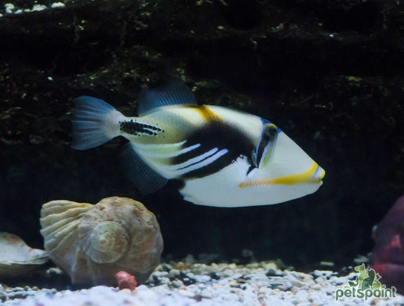 Спинорог Пикассо колючий в аквариуме