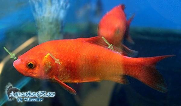 Ацидоз и алкалоз у рыб — признаки,причины,лечение,фото