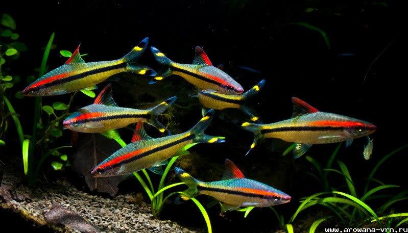 Барбус денисони: содержание,описание,фото,видео,размножение