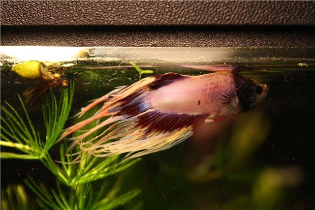 Осмотический стресс и осмотический шок у аквариумных рыбок