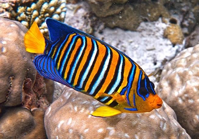 Рыба ангел в рифовом аквариуме