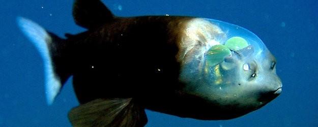 Рыба с прозрачной головой — Марианская впадина