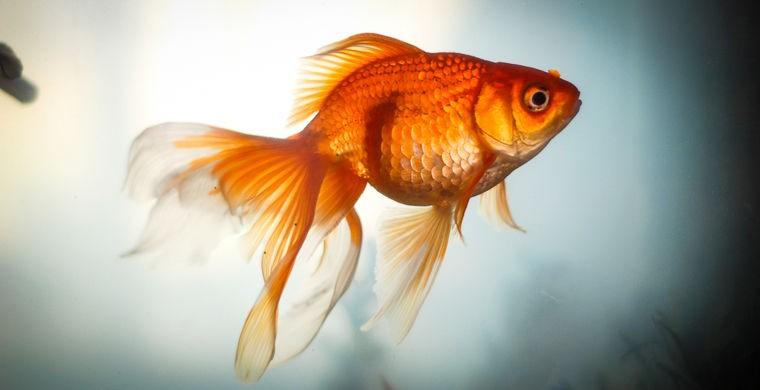 Золотые рыбки поддаются дрессировки — видео