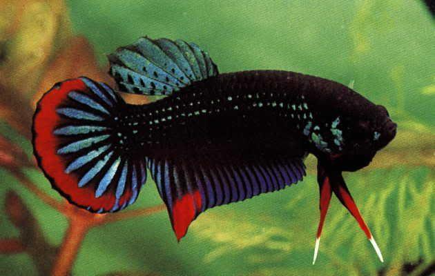 Бетта черная, петушок карликовый, петушок черный невоинственный (Betta imbellis)