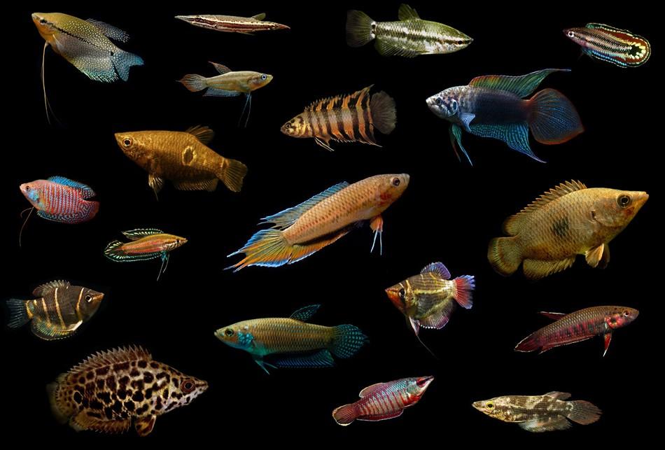 классификация рыб аквариумных с фото без тоски, хандры