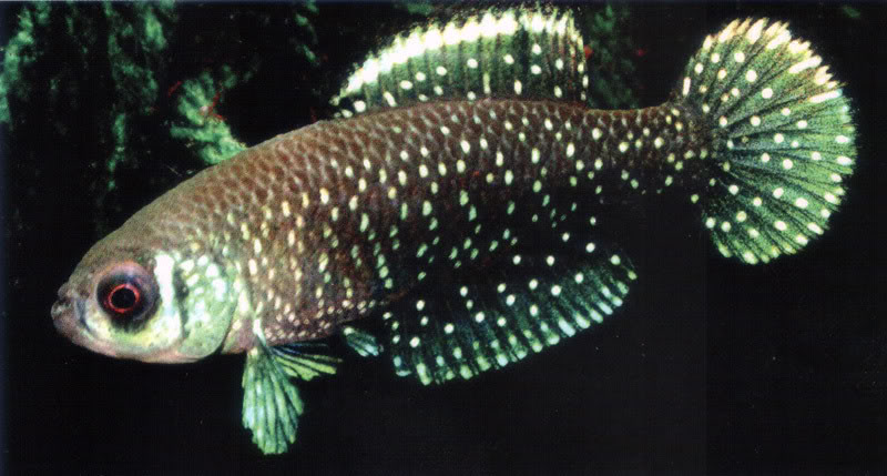Цинолебиас звездчатый, или цинолебиас черноплавниковий, или Цинолебия (Cynolebias nigripinnis)